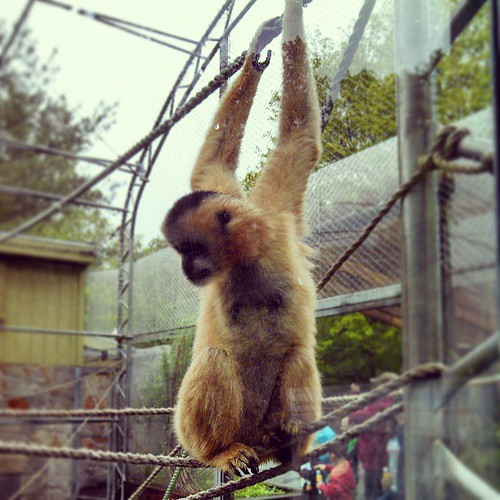 Just hanging... #Gibbon #stonezoo