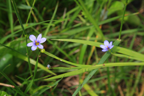 Sisyrinchium angustifolium, blue-eyed grass