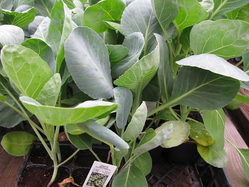 choux de bruxelles : semer, planter et récolter