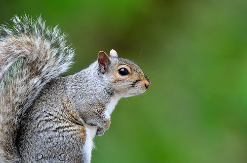 Eastern Grey Squirrel   33