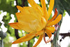 Epiphyllum-French Gold by smallspot