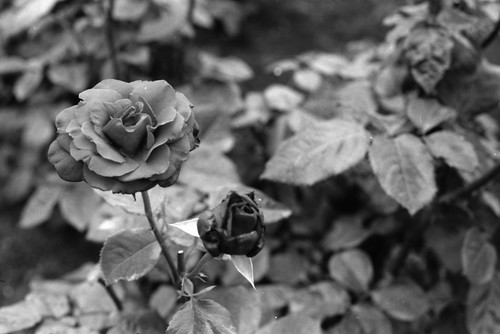 Roses by ketchin