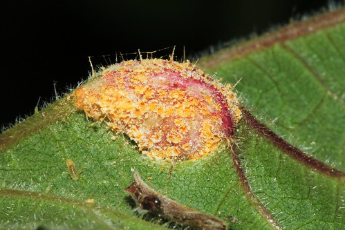 Nettle Clustercup Rust 18091