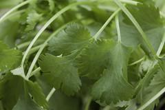 brassica(0.0), apiales(0.0), vegetable(0.0), flower(0.0), mustard plant(0.0), brassica rapa(0.0), produce(0.0), rapini(0.0), food(0.0), annual plant(1.0), leaf(1.0), plant(1.0), herb(1.0), coriander(1.0),
