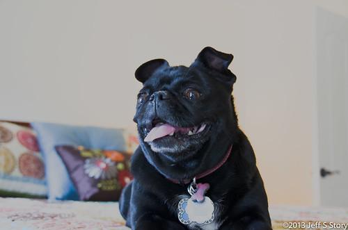 Precious the Pug by jeffsstory