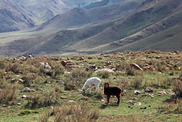 Sheeps in grassland, Barkol バルクル、草原の羊たち