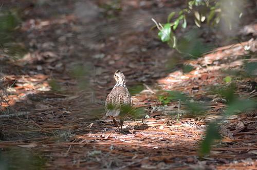 Northern Bobwhite (Colinus Virginianus) by Sheri Fresonke Harper