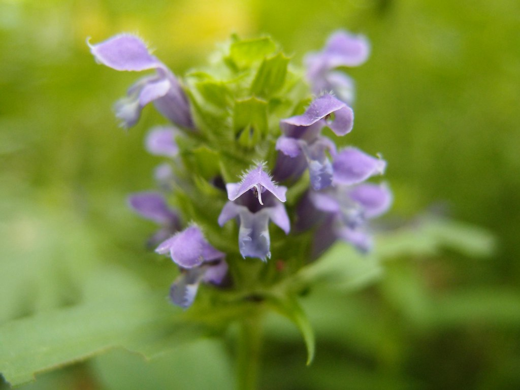 20130701_prunella_vulgaris