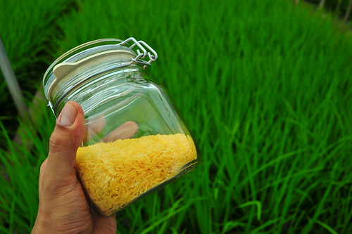 Golden Rice grain in jar GN7_0475-22