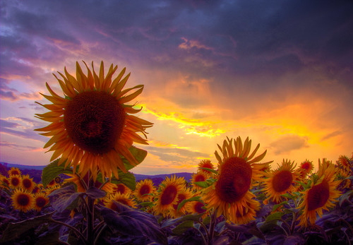 Stormy Sunset with Sunflowers