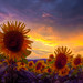 Stormy Sunset with Sunflowers by JC23lumixfs3