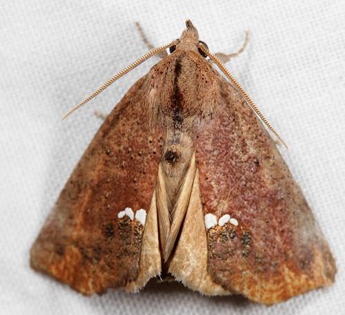 insect nc moth july northcarolina lepidoptera fieldtrip coastalplain eol bmna erebidae canonefs60mmf28macrousm medocmountain taxonomybinomial hypsoropha smallnecklacemoth hypsorophahormos taxonomy:binomial=hypsorophahormos medoc20130710