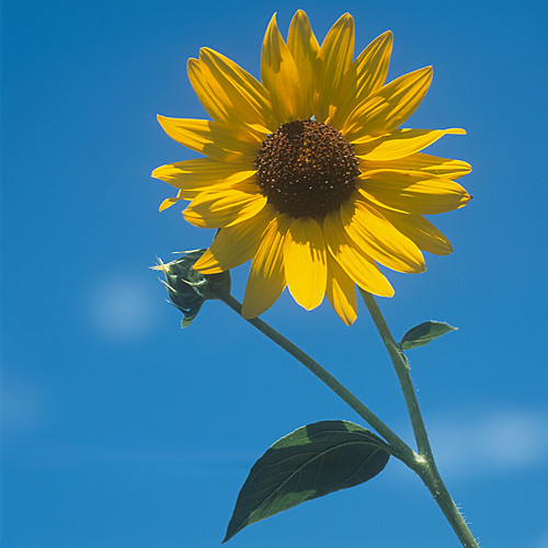 Sunflower | by David Whitehall