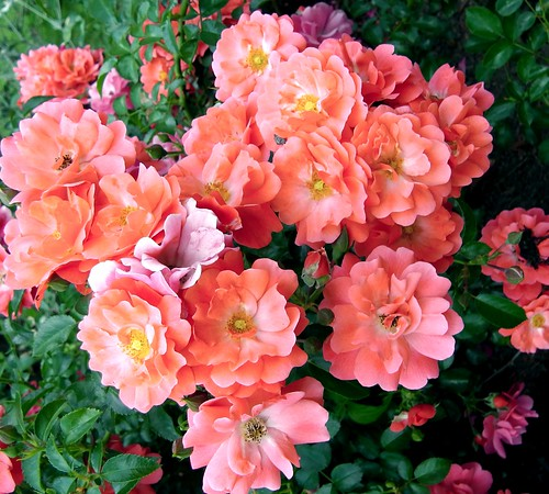 ** Les roses **