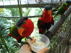 animal, lovebird, macaw, parrot, pet, fauna, lorikeet, beak, bird,