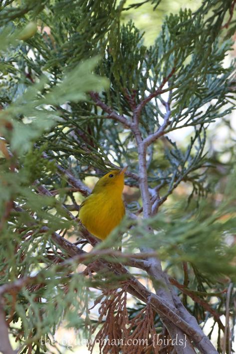 081813_bird_warblerB01