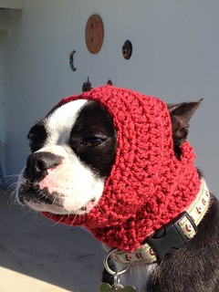 Cuchita the Boston Terrier