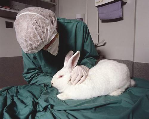 兔子是常被用來測試刺激性的實驗動物。圖片作者:Understanding Animal Research,圖片來源:http://www.flickr.com/photos/90500915@N05/8224204466/,本圖符合CC授權使用。