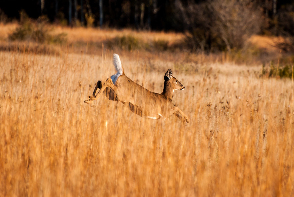 whitetail deer running through Minnesota prairie in October