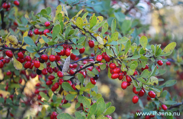 Berberis bush