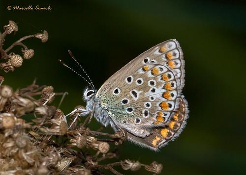 Polyommatus icarus female