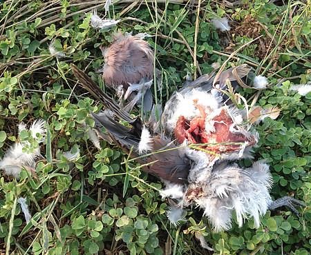 田間中毒死的鳥兒,已經被猛禽開膛剖肚。圖片來源:屏科大野保所鳥類研究室