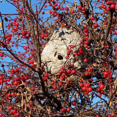 Hornet's nest in a chokecherry tree by Coyoty
