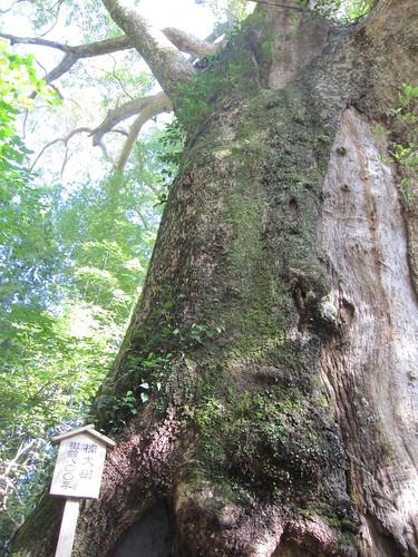 こちらも樹齢800年の楠~熊野古道 by Poran111