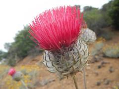 Asteraceae - Cirsium occidentale var. venustum - VENUS THISTLE SA