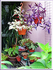 Our plants incl. Chinese Croton in hanging pot at the garden porch, Nov 19 2013