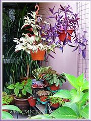 Potpouri of tropical plants at our garden porch, November 19 2013