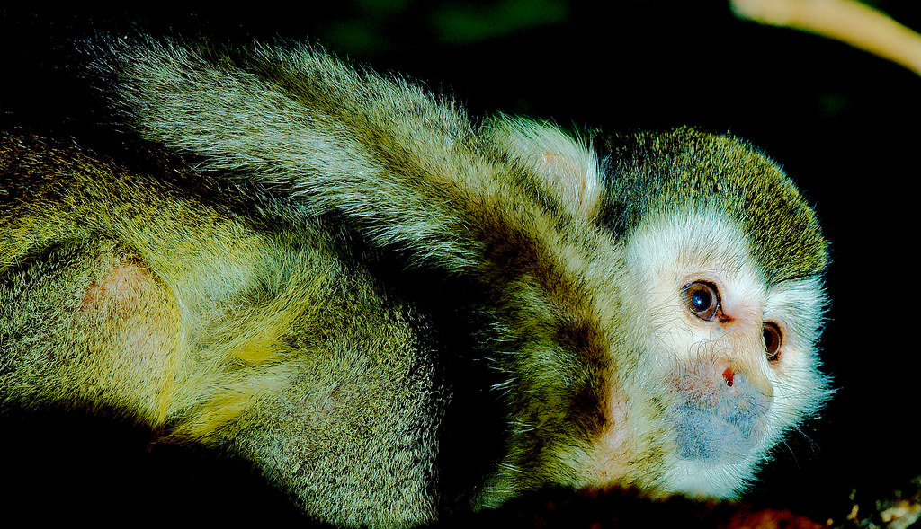 Common Squirrel Monkey (Saimiri sciureus)_5