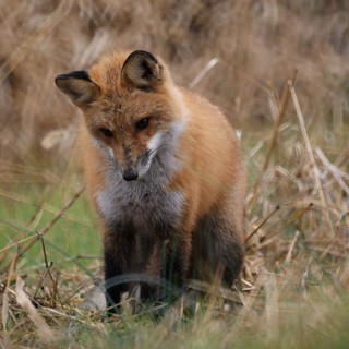 Red Fox | by Mike's Birds