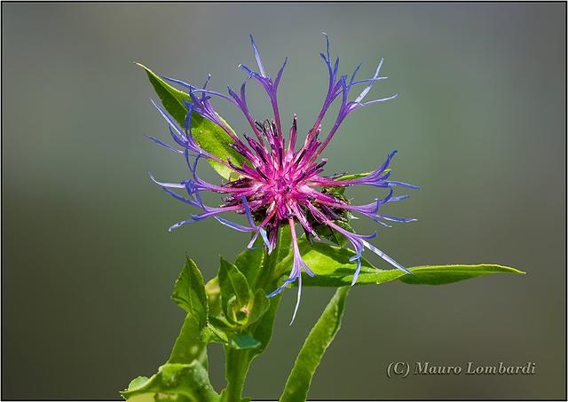 _ABC1325 - 06 06 2013 Centaurea montana. Fiordaliso.