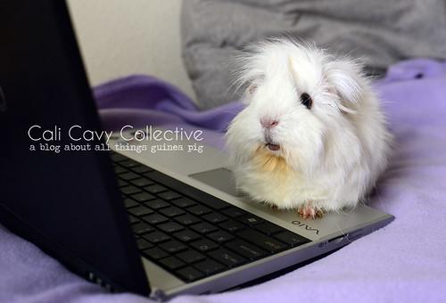 Abby-Roo guinea pig link roundup