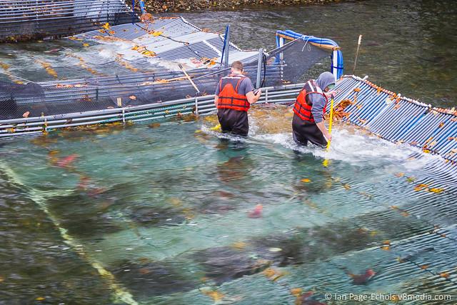 Salmon Sweepers