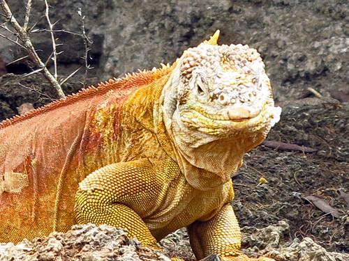 Land Iguana Santa Cruz Galapagos
