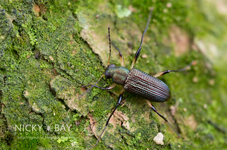 Darkling Beetle (Strongylium sp.) - DSC_0675