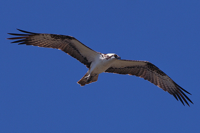 Wildlife in British Columbia, Canada: Osprey