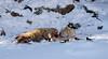 Feeding Coyote