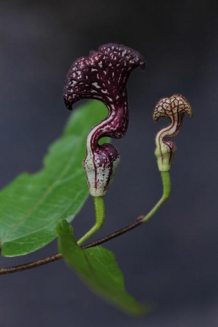 Pararistolochia deltantha Aristolochiaceae Mountain Aristolochia 1113 15 Paluma