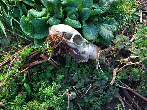 fox skull in the churchyard
