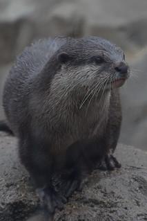 Juvenile Otter