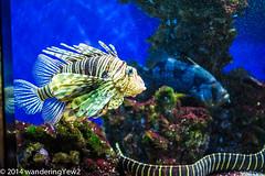 Monaco Aquarium: Lionfish