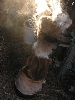 goat fur smoking