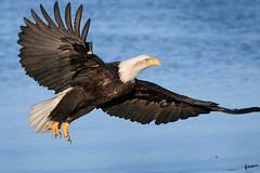 animal(1.0), bird of prey(1.0), eagle(1.0), wing(1.0), fauna(1.0), buzzard(1.0), bald eagle(1.0), accipitriformes(1.0), kite(1.0), beak(1.0), bird(1.0), wildlife(1.0),