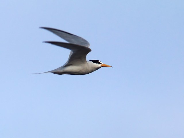 Least Tern in flight 2-20140416