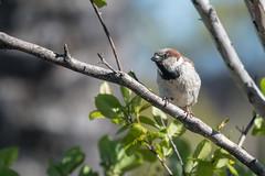 House Sparrow  -  Haussperling