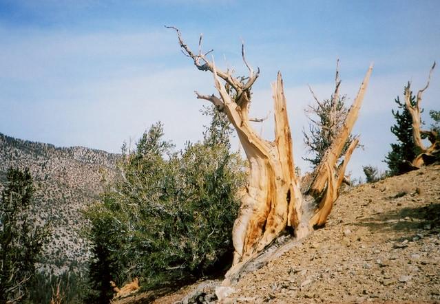 Konica Recorder Ancient Bristlecone Pines 1
