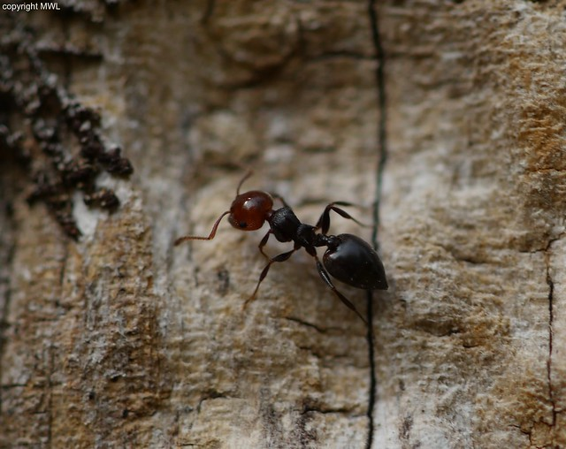 most likely Crematogaster sp